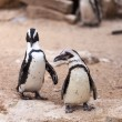 Two penguins for a walk in nature — Stock Photo #45628297