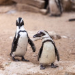Two penguins for a walk in nature — Stock Photo
