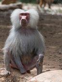 Portret van baviaan aap aard — Stockfoto