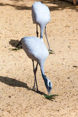 Young African storks on nature  — Stock Photo