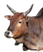 Indian cow portrait isolated — Stockfoto