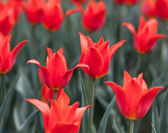 Flowerbed with red buds tulips — Stok fotoğraf