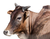 Portrait of Indian cows, isolated — Stockfoto