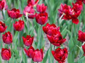 Red tulips flowerbed buds — Stock Photo