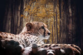 Portrait of a wild cheetah  — Stock Photo