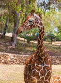 One giraffe in nature — Zdjęcie stockowe