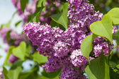 Lilacs growing in nature — Zdjęcie stockowe