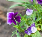 Kwiat liliowy — Zdjęcie stockowe