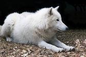 Bílý arktický vlk — Stock fotografie