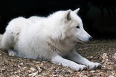 Witte poolwolf — Stockfoto