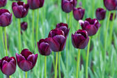 Lot of purple tulips — Stock Photo