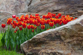 Red tulips in a flower bed of rocks — Stock Photo