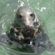 Grey Seal (Halichoerus grypus), Newquay Harbour, UK - Stock Photo