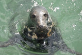 Grey Seal (Halichoerus grypus), Newquay Harbour, UK — Stock Photo