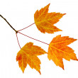 Fall Maple Leaves Trio — Stock Photo