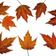 Red Maple Leaves in Fall — Stock Photo