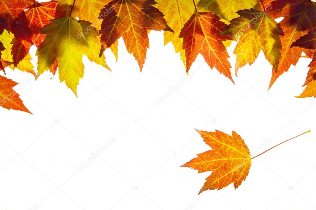 Hanging Fall Maple Leaves Border Isolated on White Background  Stock Photo #12626995