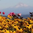 Yellow Blackeye Susan Flowers with Mt Hood in Portland Oregon — Stock Video