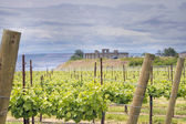 Vineyard in Maryhill Washington State — Stock Photo