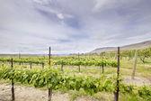 Vineyard Landscape in Maryhill Washington State — Stock Photo