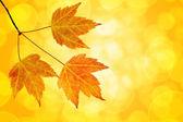 Cae trío de hojas de arce con bokeh fondo — Foto de Stock