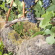 Bunches of Red Wine Grapes Growing on Vine — Stock Photo #12888672