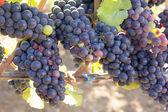 Kırmızı şaraplık demet — Stok fotoğraf
