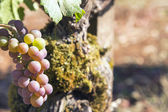 Champagne Grapes Closeup — Stock Photo