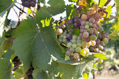 Colorful Grapes Growing on Grapevine — Stock Photo
