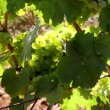 Closeup of Winery Grapevines with bunch of Grapes — Stock Video