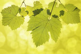 Hanging Grape Leaves on Green Background — Stock Photo