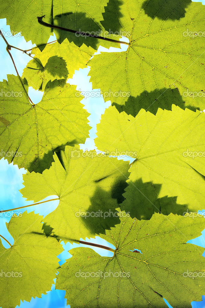 Grape Leaves on Blue Sky Background  Stock Photo #13261657