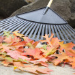 Stock Photo: Raking Fallen Oak Leaves Closeup