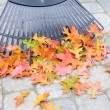 Stock Photo: Raking Fallen Oak Leaves