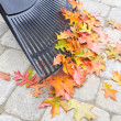 Stock Photo: Raking Fallen Oak Leaves Vertical