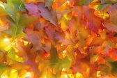 Backlit Pile of Oak Tree Leaves — Stock Photo