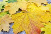 Fallen Large Maple Leaves in Autumn — Stock Photo