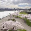 Cherry Blossoms Trees Along Willamette River Waterfront — Stock Photo