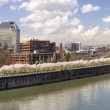 Cherry Blossom Along Portland Oregon Waterfront Panorama - Stock Photo