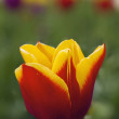 Red and Yellow Tulip Closeup — Stock Photo