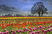 Tulips Blooming in Spring Season — Stock Photo