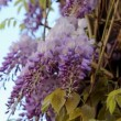 Climbing Wisteria Vine Plant with Blooming Flowers on a Breezy Spring Day 1080p — Stock Video