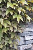 Boston Ivy Climbing Vines — Stock Photo