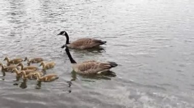 Family of Canada Geese and Goslings Swimming in Water along Banks of Willamette River in Lake Oswego Oregon 1080p — Stock Video