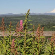 Scenic View of Mount Hood with Wild Flowers and Tall Grass in Sandy Oregon 1080p — Stock Video