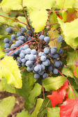 Oregon Grape Plant Closeup — Stock Photo