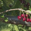 Sweet Bing Cherries on Tree — Stock Photo