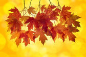 Red Maple Leaves with Orange Background — Stock Photo