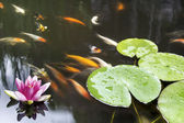 Lily Pad Pink Flower in Koi Pond — Stock Photo