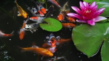 Koi Fish Swimming and Feeding with Water Lily Plant and Pink Flower in Pond 1920x1080 — Stock Video